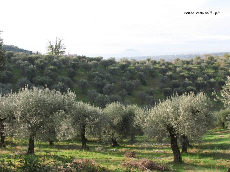 Piante ulivo montelibretti